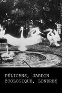 Pélicans, Jardin zoologique, Londres (Pélicans, Jardin zoologique, Londres)