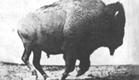 Buffalo Running 1883 Eadweard Muybridge, Very Early Film