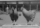 Exposição de Galinhas e Cavalos (Exposição de Galinhas e Cavalos)