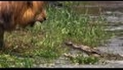 AFRICAN CATS Documentary Trailer From DisneyNature in HD