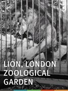 Lion, London Zoological Gardens (Pélicans, Jardin zoologique, Londres)