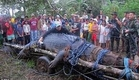 The capture of the biggest crocodile Lolong world record in the Philippines