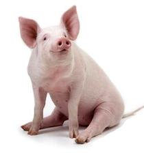 Inteligência Animal - O Porco - Poster / Capa / Cartaz - Oficial 1