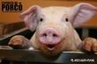 Espírito de Porco