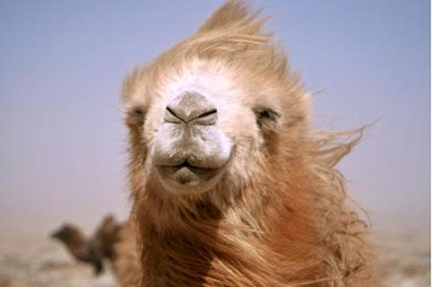 Pitada de Cinema Cult: Camelos Também Choram (Die Geschichte Vom Weinenden Kamel)