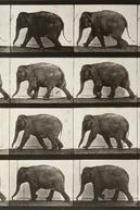 Elephant Walking (Elephant Walking)