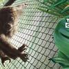 50 ANOS DE PLANETA DOS MACACOS: ordem de filmes e proteção aos animais silvestres