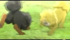Toji The Golden Tibetan Mastiff Chinese Anime Trailer