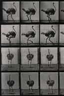 Ostrich Walking (Ostrich Walking)
