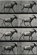 Goat Walking (Goat Walking)