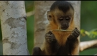 Culinary capuchins - Wild Brazil: Episode 2 Preview - BBC Two