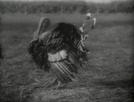 O peru prepotente (Il tacchino prepotente)